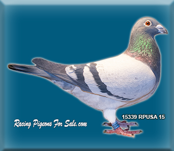 Racing Pigeons Pigeions Pigeons for sale Racing pigeons for